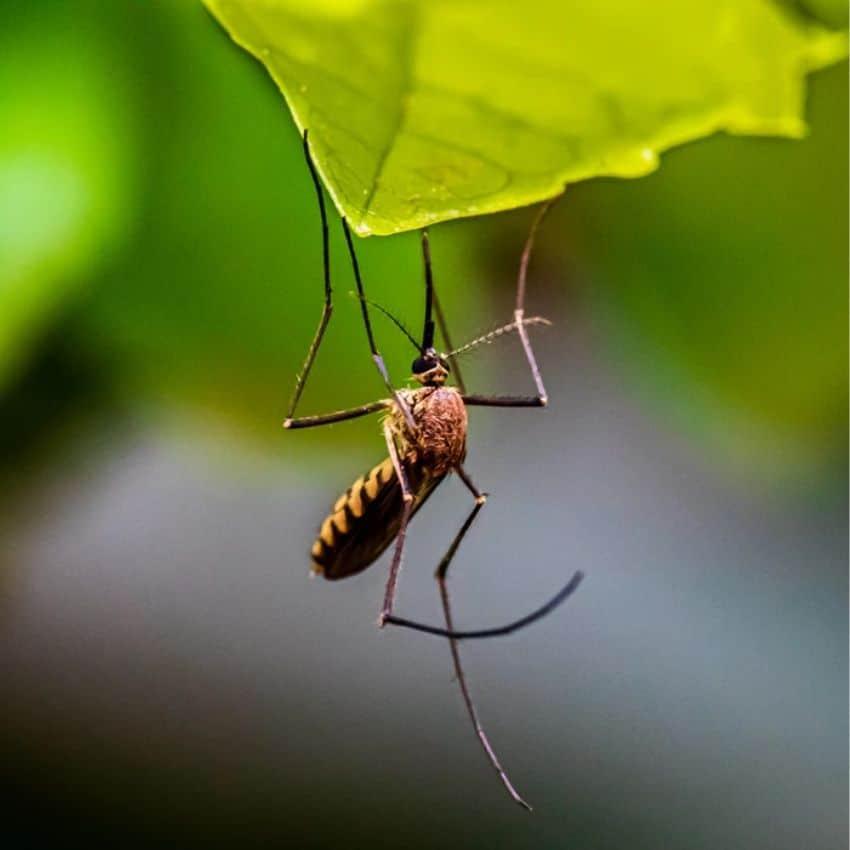 Makro af myg